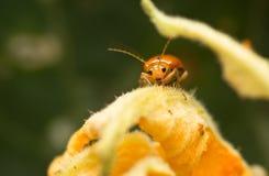 Cucurbit beetle Stock Photos
