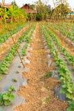 Cucurbit farm Royalty Free Stock Photography
