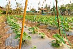 Cucurbit farm Stock Image