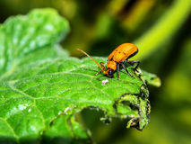 Cucurbit leaf beetle Royalty Free Stock Image