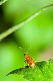 Cucurbit Leaf Beetle or Aulacophora indica Stock Image