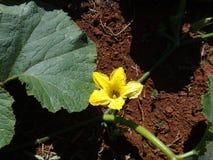 Cucurbita - желтый цветок Стоковые Изображения RF
