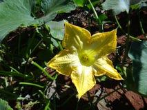 Cucurbita - желтый цветок Стоковое Изображение
