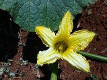 Cucurbita - желтый цветок Стоковые Фотографии RF