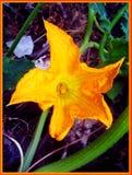 Cucurbita flower macro background and wallpaper fine art prints stock photo