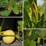 Cucurbita, foglia e fiore del collage in giardino Immagine Stock Libera da Diritti