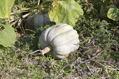 Cucurbita Stock Photos