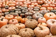 Cucurbita Maxima, different sorts of Pumpkin squash, Thanksgivin Stock Photography