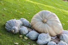 Cucurbita Maxima Giant Pumpkin cucurbita pumpkin pumpkins  Stock Photo