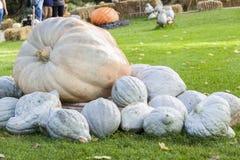 Cucurbita Maxima Giant Pumpkin cucurbita pumpkin pumpkins from a Royalty Free Stock Photography