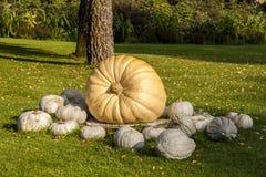 Cucurbita-Maxima Giant Pumpkin-Cucurbitakürbiskürbise von a Lizenzfreie Stockfotografie