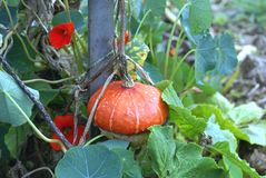 Cucurbita maxima. gourd. cucurbits. squash. pumpkin. Cucurbita maxima, gourd, squash, or pumpkin growing on a plant in a garden. A genus of herbaceous vine in Stock Photos