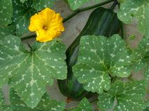 Cucurbita moschata Royalty Free Stock Images