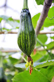 Cucurbita moschata. Pumpkin plant - Cucurbita moschata - with fruit and flower growing in the garden Royalty Free Stock Image