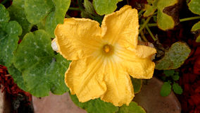 Cucurbita moschata Stock Image