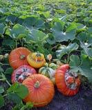 Cucurbita (Pumpkins) Stock Image