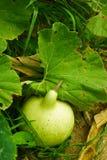 Cucurbitaceae Stock Image