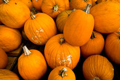 Cucurbitaceae Pumpkins Royalty Free Stock Photo