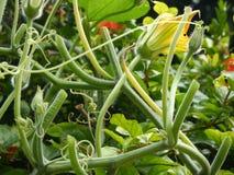 Cucurbits. Closeup Toptree cucurbits in the garden Stock Photo
