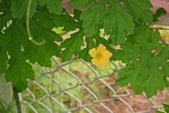 Cucurbits flower. Vine fruiting vegetable plant Stock Photography