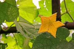 Cucurbits flower. Vine fruiting vegetable plant Royalty Free Stock Photos