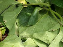 Cucurbits leaves. On the ground Royalty Free Stock Image