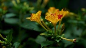 Cud Peru kwiatu zakończenie up kiwa na lato popióle zdjęcie wideo