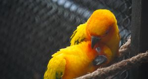 Cuddle birds. Small orange color parrots cuddle together in his bird sanctuary in a mexican zoo. couple of loving birds stock photos