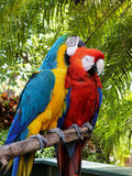 Cuddle. Bonded pair of macaws cuddling up Stock Photo