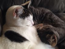 Cuddle kitties. Close up of two cats grey and Royalty Free Stock Images