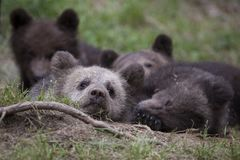 Cuddle when you get sleepy. Baby bear bundle cuddling together and sleeping on grass ground Stock Photography