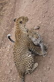 Cuddles between leopards - mother and daughter. Young female leopard asks cuddles to her mother in Serengeti - Seronera area Royalty Free Stock Photography