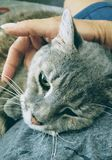 Cuddling with a cat. Human hand stroking a grey gray tabby domestic cat Royalty Free Stock Photography