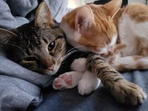 Cats Cuddling stock photography