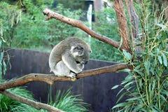 Koala sleeping on a branch Stock Photos