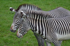 Cuddling Couple of Zebras in a Lush Green Field Royalty Free Stock Image