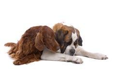 Cuddling dogs Royalty Free Stock Image