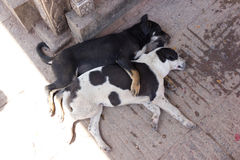 Cuddling Dogs. Two puppy dogs having a cuddle and snooze at the monkey temple in Kathmandu Stock Photos