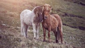 Cuddling faroese horses Royalty Free Stock Image