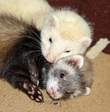 Cuddling ferrets. Closeup of two unrelated six week old ferrets, a male black-eyed sterling silver and a female chocolate sable, cuddling together on a rug Royalty Free Stock Photos