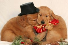 Cuddling golden retriever puppies. Two adorable golden retriever puppies with hat and bow cuddling Royalty Free Stock Photography