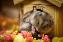 Cuddling hamsters sleeping together stock photos