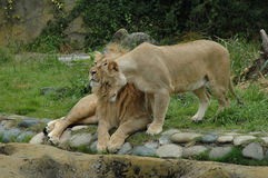 Cuddling lions. African lions at the San Francisco Zoo Royalty Free Stock Image
