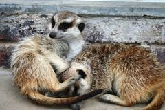 Cuddling Meerkats Stock Photography