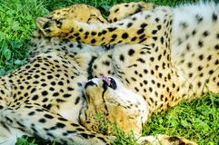 Cuddling pair of cheetahs on the grass Stock Images