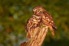 Cuddling pair of Little Owls Athene noctula perched on a pale close up enlightened by evening sun.  stock image