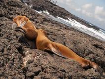 Cuddling Sea Lions Stock Image