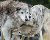 Cuddling wolves. Three gray wolves cuddling outside Yellowstone National Park, Wyoming royalty free stock images