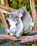 Two Koala Bears, Australia Stock Photos