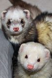 Cuddly ferrets. A pair of curious cuddly ferrets royalty free stock photos